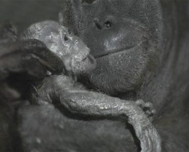 Cámaras Capturan un Vídeo Muy Raro Del Nacimiento De Un Orangután