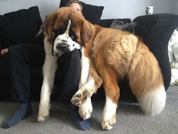 perro-gigante-01