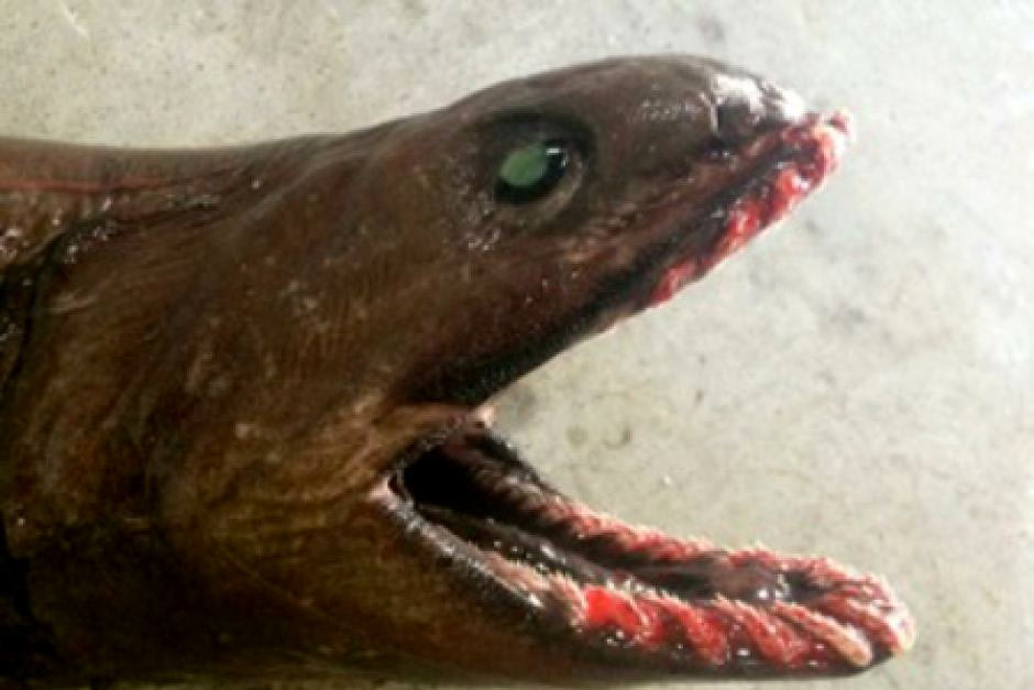 tiburon-anguila-1