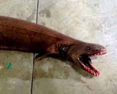tiburon-anguila-2