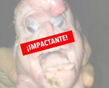 Nace Un Cerdo Con Terribles Deformidades. Su Cara Parece Humana
