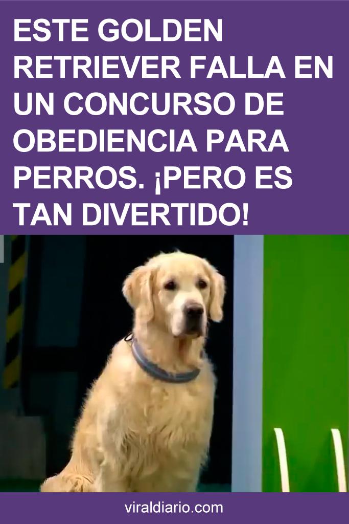 Este Golden Retriever falla en un concurso de obediencia para perros. ¡Pero es tan divertido!