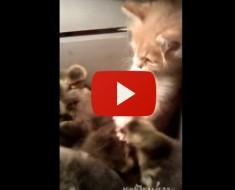 ¿Qué Sucedió Cuando Este Gatito Descubrió Una Caja Llena De Patitos?