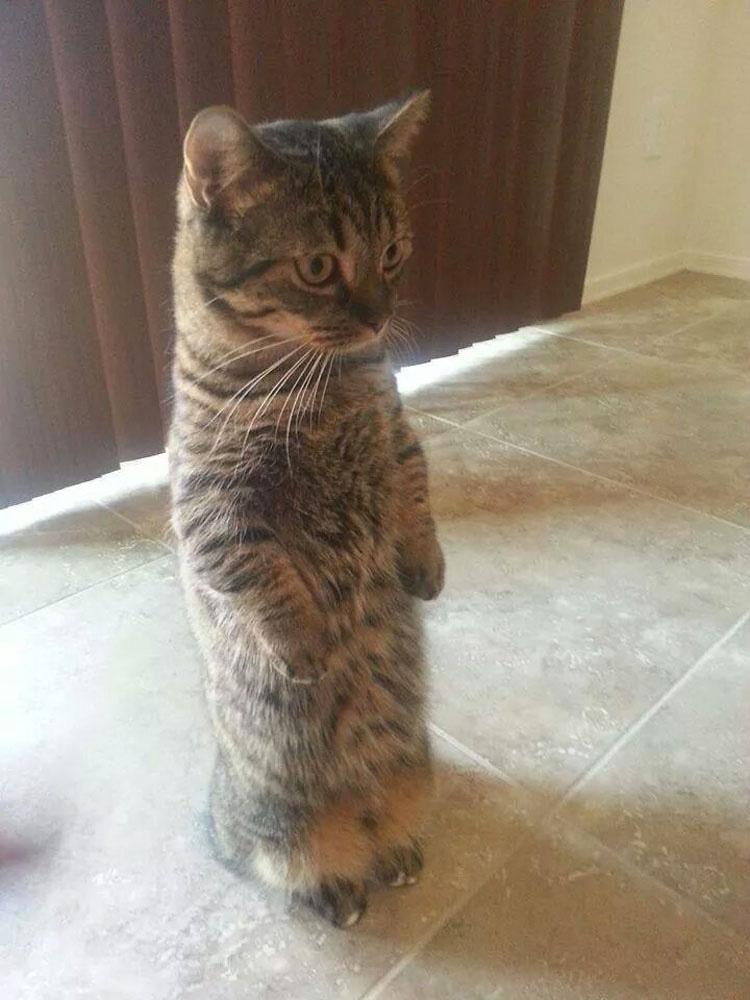 15 Gatos Que Prefieren Estar De Pie. La Foto #13 Es Increíblemente Humana