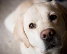 Estudios Demuestran Que Los Perros Saben Si Tienes Cáncer