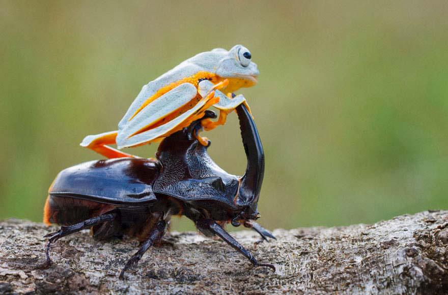 Esta Rana Montando Un Escarabajo Es Sin Duda Lo Más Asombroso Que Verás En Todo El Día