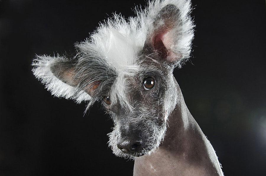 Estos Retratos De Perros Sin Pelo Te Harán Reír Todo El Día. Atención A La #8