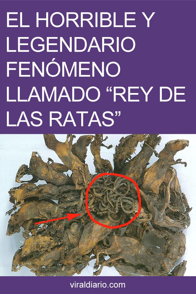 """El horrible y legendario fenómeno llamado """"Rey de las ratas"""""""