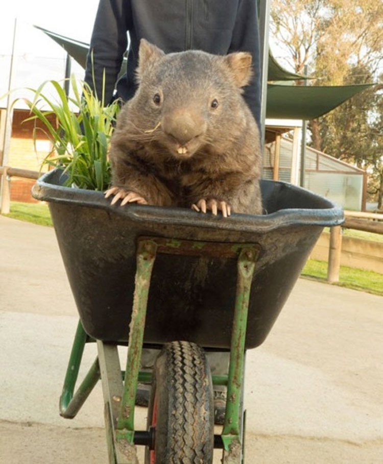 Este Es Patrick, El Wombat Más Viejo Y Afectuoso Del Mundo