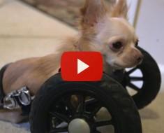 Este Chihuahua De Dos Patas Tiene Un Amigo Insual... Y Su Historia Le Conmoverá