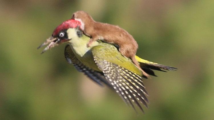 La Fotografía De Una Comadreja Bebé Volando Sobre Un Pájaro Carpintero Que Sorprende Al Mundo
