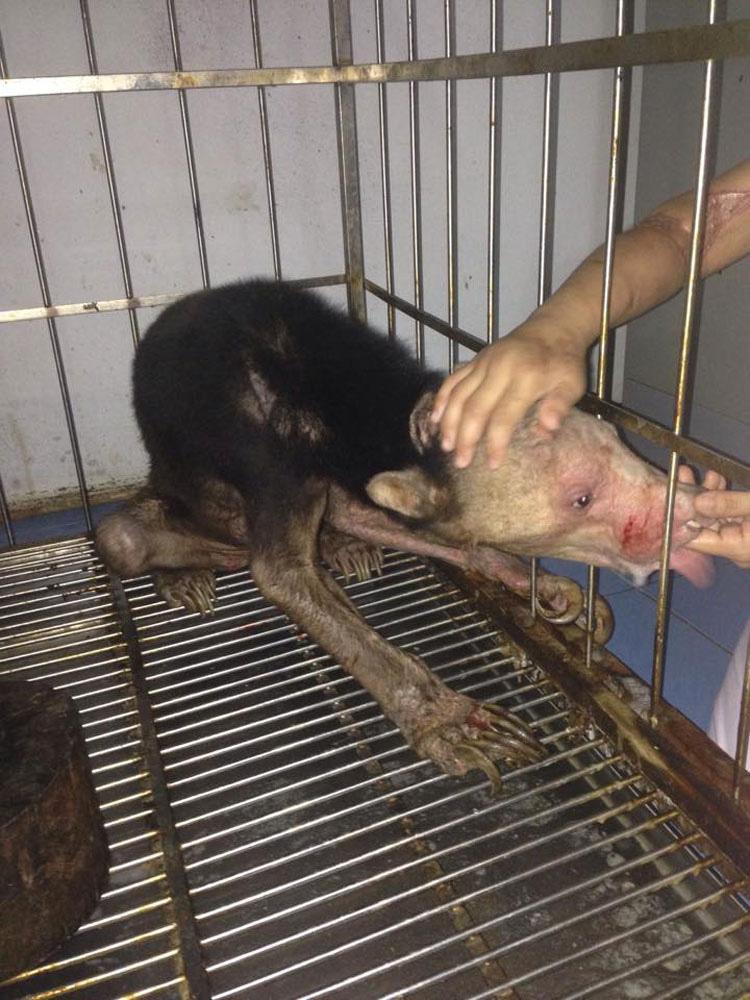 AVISO: Imágenes duras. Desgarradoras fotos de un oso revelan los horrores del comercio de animales exóticos