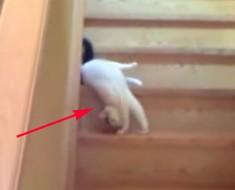 Este gato tiene una forma muy extraña de bajar las escaleras. No podrás dejar de reír cuando lo veas