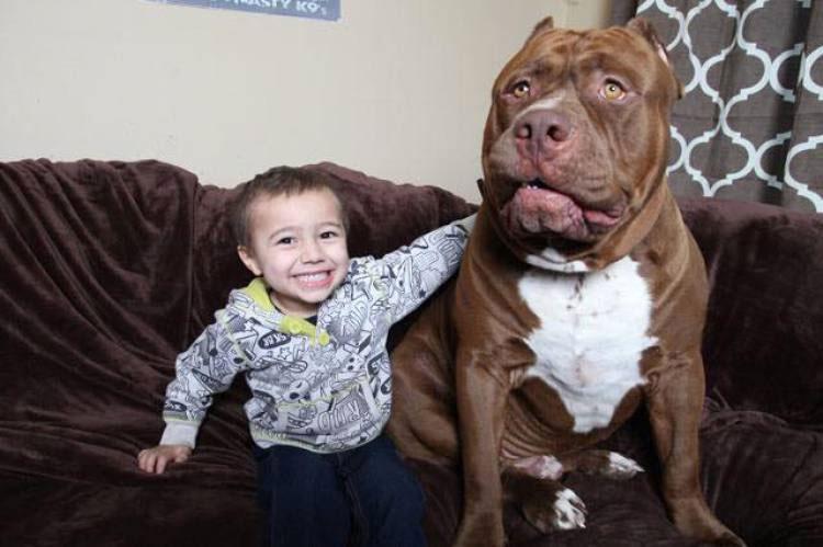 Este Es Hulk, El Pitbull De 80 Kg Que Te Aplastará Con Su Bondad