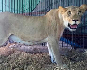 CONMOVEDOR. Después de años en jaulas de circo, liberan a 33 leones 1