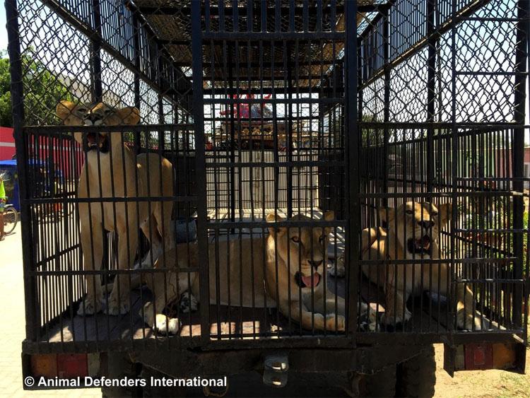 CONMOVEDOR. Después de años en jaulas de circo, liberan a 33 Leones