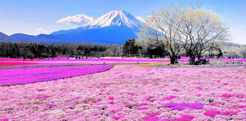 Shibazakura Hill