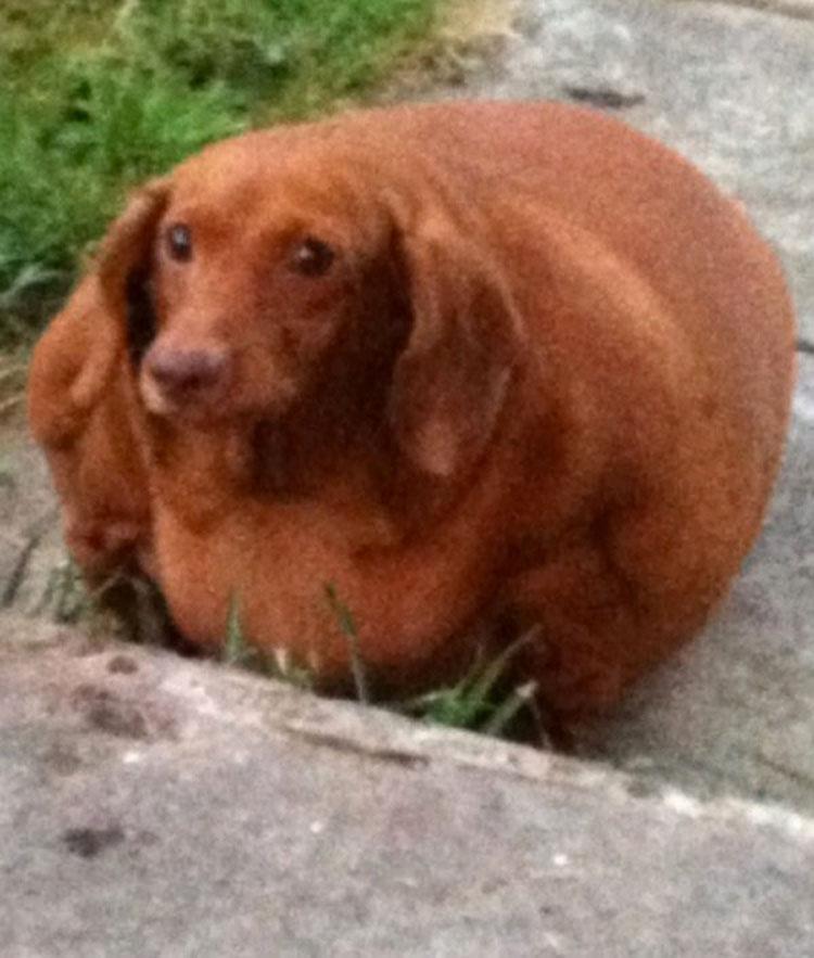 Este Dachshund con obesidad mórbida que apenas podía caminar ahora es un perro feliz 2
