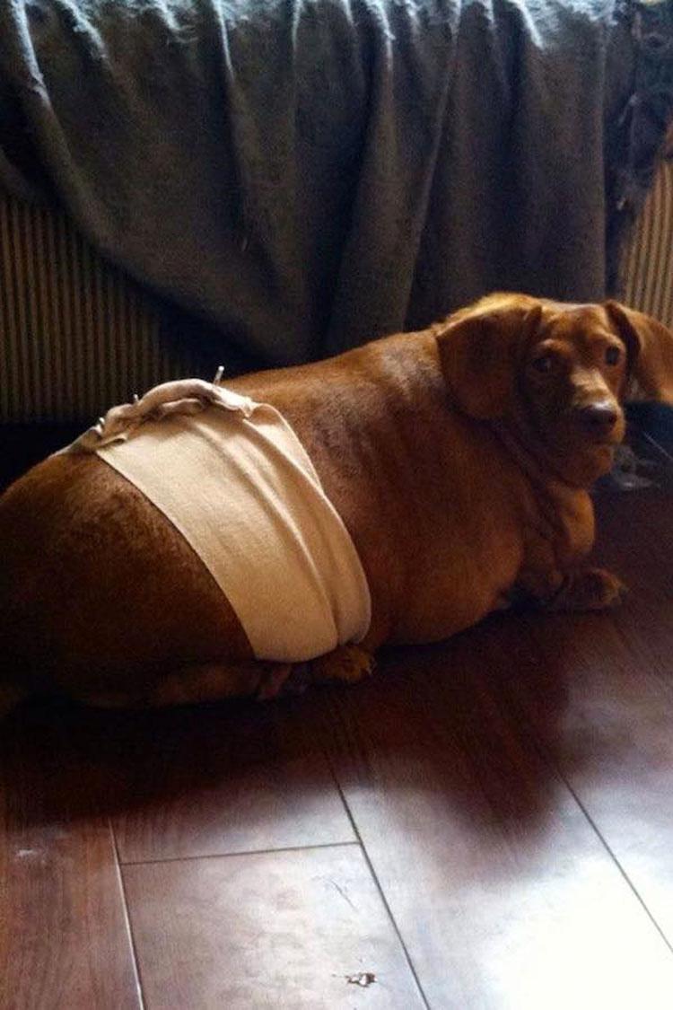 Este Dachshund con obesidad mórbida que apenas podía caminar ahora es un perro feliz 3