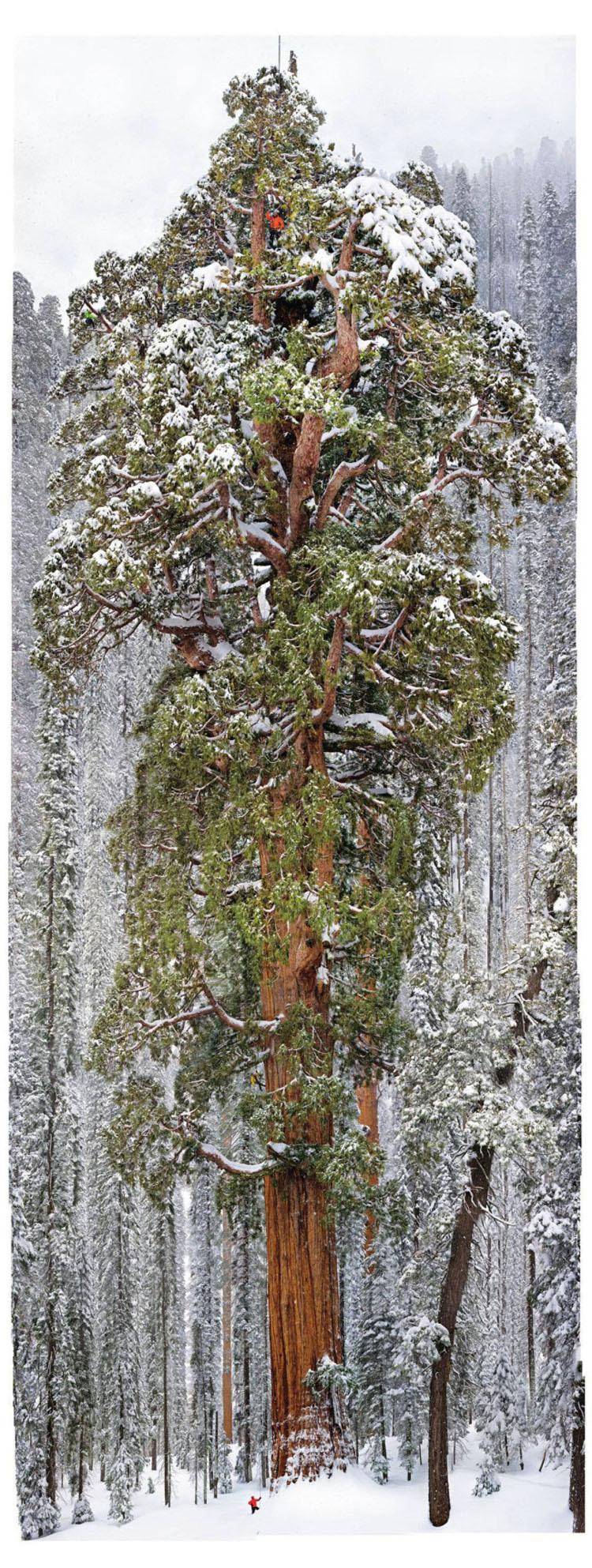 Este árbol de 3.200 años es tan grande que nunca había sido fotografiado en una sola imagen. HASTA AHORA 1