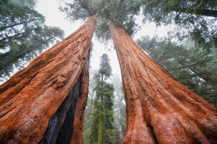 Este árbol de 3.200 años es tan grande que nunca había sido fotografiado en una sola imagen. HASTA AHORA 2