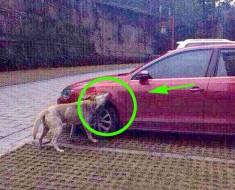 Perro enfadado consigue vengarse de un conductor que le había dado una patada
