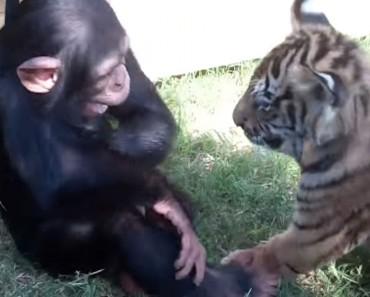Introducen tres bebés de chimpancé, lobo y tigre. ¿Y qué ocurre? ¡TE DERRETIRÁS!