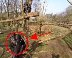 INCREÍBLE video en el que un chimpancé derriba un drone que le molestaba con un palo