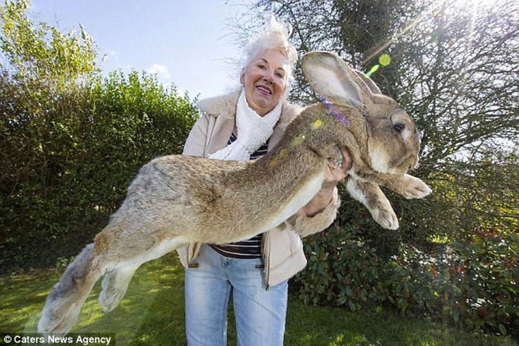 Predicen que el hijo del conejo más grande del mundo será aún MÁS GRANDE que su padre 1
