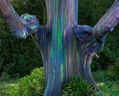 eucalipto-arco-iris-1