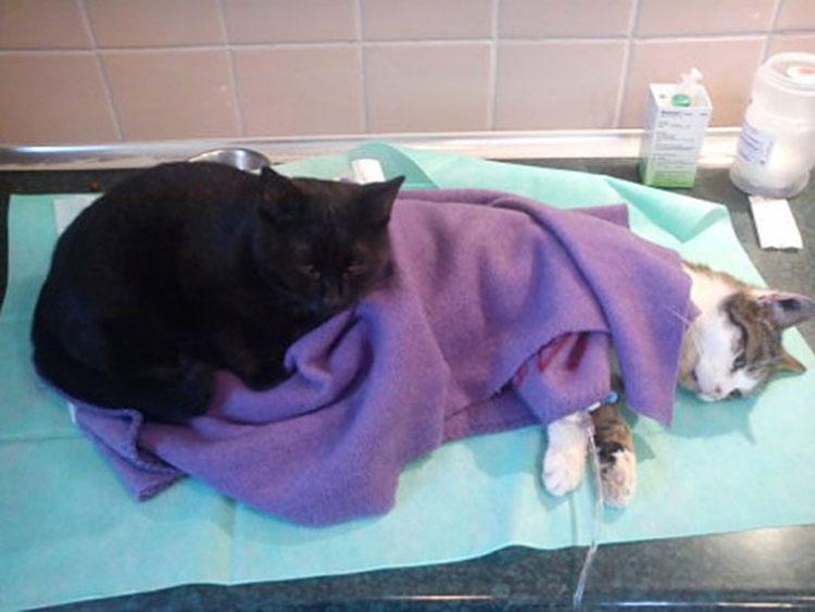 Este increíble gato estuvo a punto de morir, ¡pero conmocionó a todo un hospital cuando hizo ESTO!