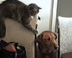 Un gato curioso se acerca sigilosamente al perro. ¿Segundos más tarde? ¡No debería reírme pero no puedo evitarlo!