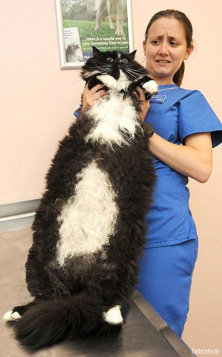 Algunos de los 20 gatos más grandes de la tierra... El #15 debe costar una fortuna alimentarlo