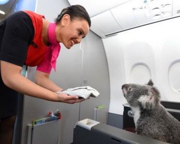 Este koala volando en primera clase es la cosa más TIERNA Y DULCE que verás hoy 1