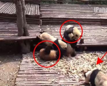 Esta pelea de bebés Panda es la cosa más tierna y divertida que verás esta semana