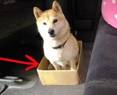 A este adorable perrito le encanta su caja, entonces su dueño decide gastarle una BROMA