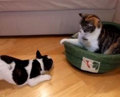 El vídeo viral (y divertido) DEL MOMENTO: un pequeño perro reclama su cama a un gato
