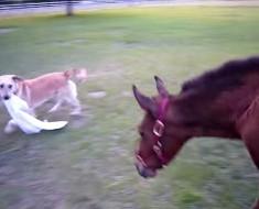 Este perro juguetón hace esto con un caballo. ¡La reacción es inesperada y MUY divertida!