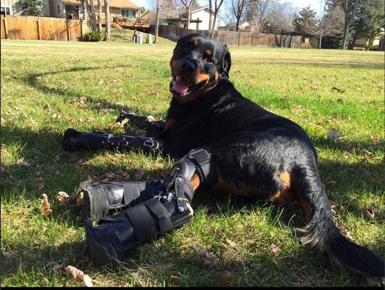 Este perro con cuádruple amputación camina de nuevo gracias a estas patas protésicas