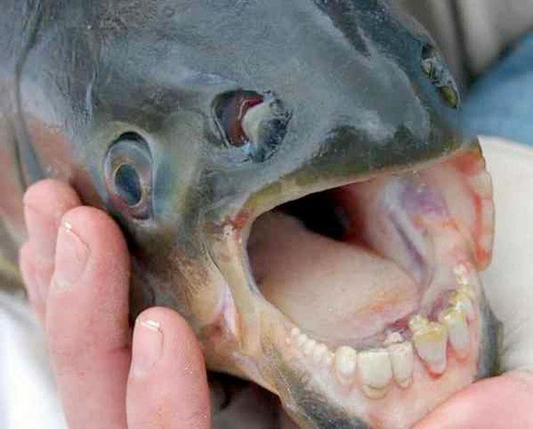 Horrible... el pez Pacú tiene dientes iguales a los humanos