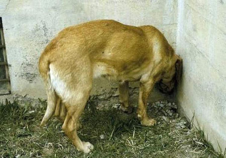 Si ve a su gato o perro haciendo esto, llévelo al veterinario inmediatamente. Podría SALVAR SU VIDA
