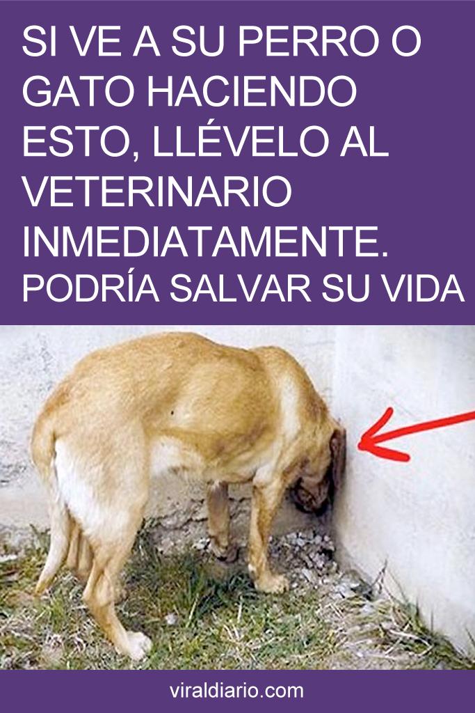 Si ve a su perro o gato haciendo esto, llévelo al veterinario INMEDIATAMENTE. Podría SALVAR SU VIDA