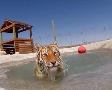 Tigres rescatadas de una jaula sucia se muestran EUFÓRICOS al nadar por primera vez