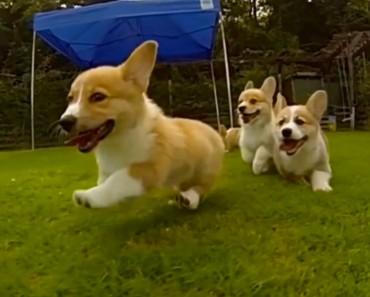 Estos cachorros de corgi filmados a cámara super lenta te abrumarán con su gracia y ternura