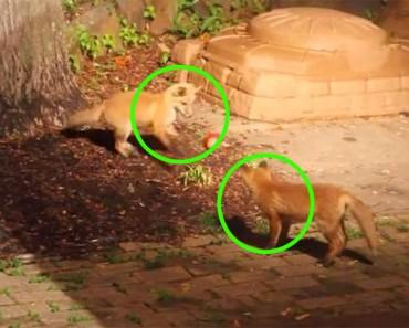 Esta RARA grabación de cachorros de zorro jugando como si fueran perros está sorprendiendo al mundo