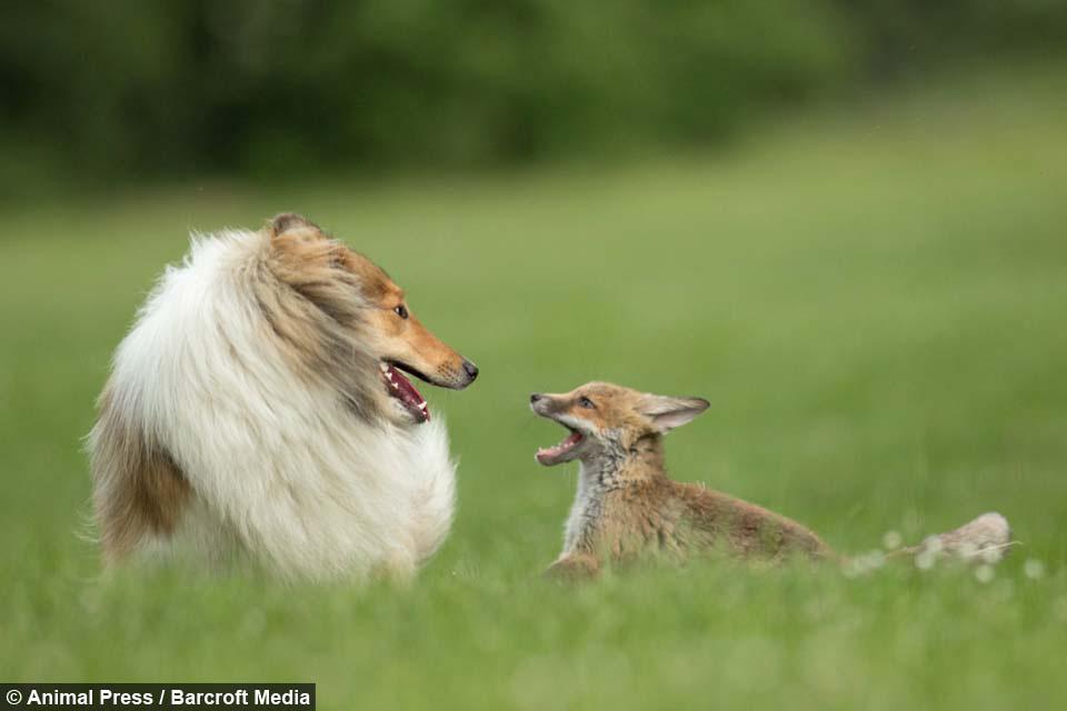 Esta Collie adopta a un adorable cachorrito de zorro huérfano. Esta es su historia