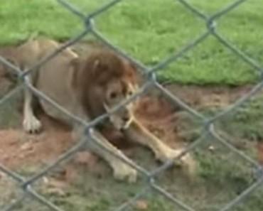 Este león liberado de un circo DESPUÉS DE 13 AÑOS siente la tierra bajo sus patas por primera vez