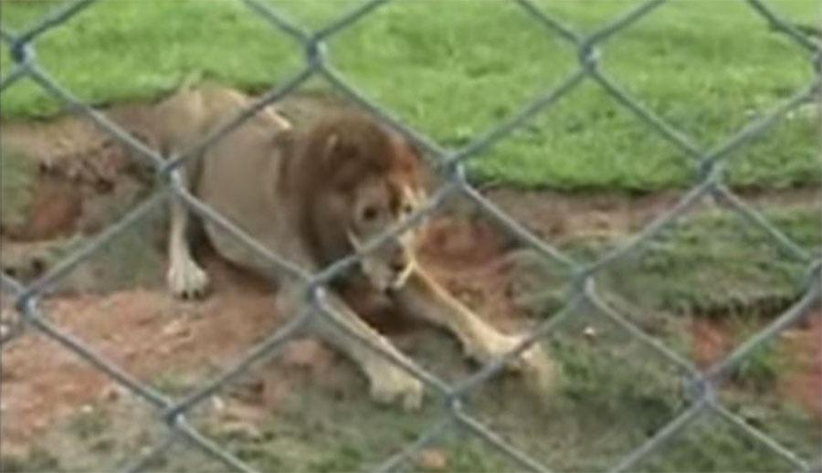 Resultado de imagen de leon liberado despues de 13 años