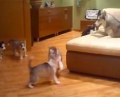 Una hermosa mamá husky enseña a sus 7 perritos cómo jugar. ¡El vídeo MÁS ADORABLE del año!