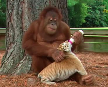 Este orangutan vio como los cuidadores se ocupan de los cachorros de tigre y ¡AHORA ÉL ES EL CUIDADOR!